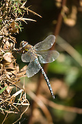 Side view of a migrant hawker dragonfly (probably female) at Shapwick Heath in Somerset, UK