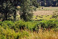 A glimpse through a gap at a hay baler hard at work collecting cut hay and making bales.