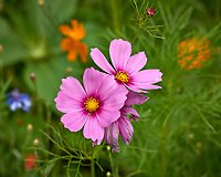 Pink Cosmos flowers in my backyard wildflower meadow. Summer nature in New Jersey. Image taken with a Leica T camera and 55-135 mm zoom lens (ISO 100, 114 mm, f/5.6, 1/500 sec).