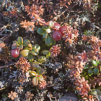 Tiny lingonberry bushes grow amongst other plants in the tundra north of the Arctic Circle in Russia. This fruit has survived a long winter under the snow.