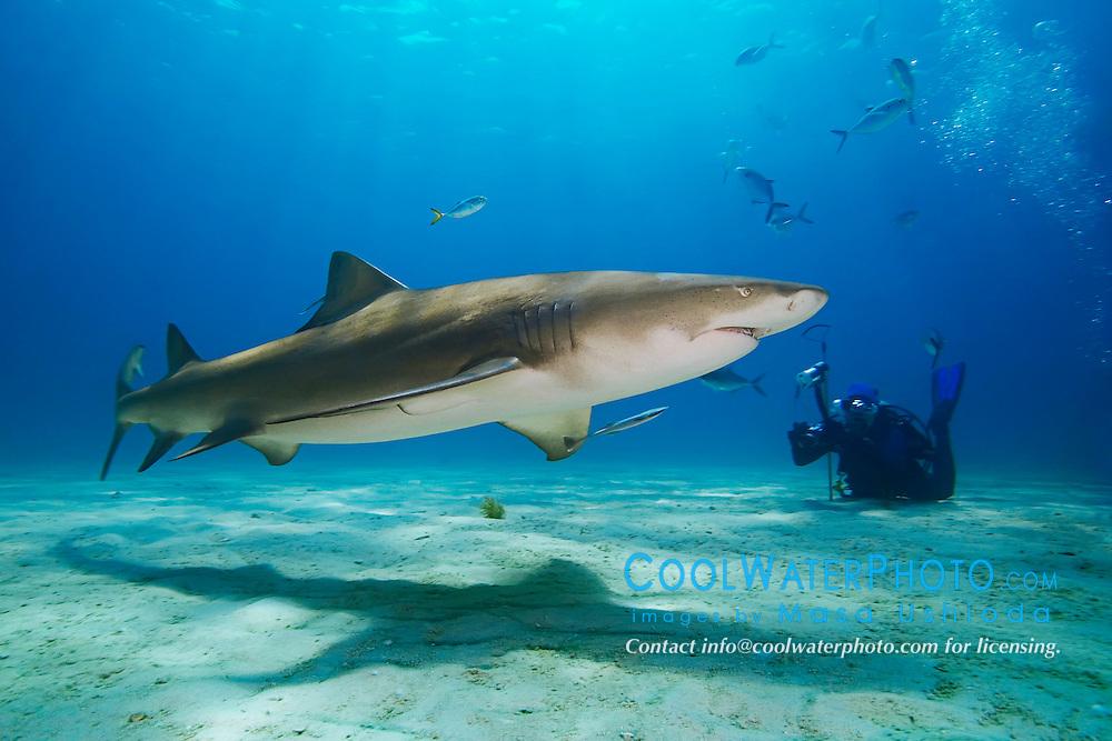 Lemon Shark, Negaprion brevirostris, and scuba diver, West End, Grand Bahama, Atlantic Ocean