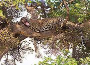 Sleepy leopard in a fig tree in Maasai Mara (Kenya).