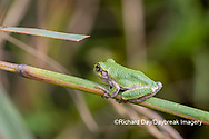 02449-00510 Gray Treefrog (Hyla versicolor) in prairie Marion Co. IL