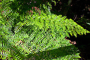 Fern by Big Cypress Bend boardwalk at Fakahatchee Strand, the Everglades, Florida, USA