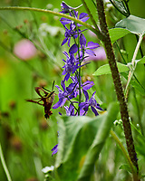 Hummingbird Clearwing Moth (Hemaris thysbe) feeding on Larkspur Flowers. Image taken with a Nikon D850 camera and 70-300 mm VR lens