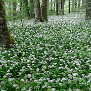 A patch of wild garlic. Plitvice Lakes National Park, Croatia