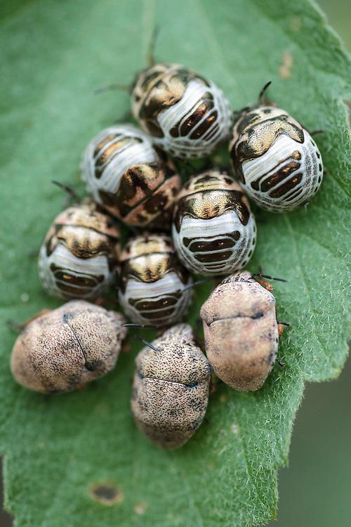 Family Scutelleridae , South Texas