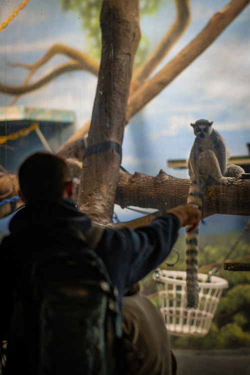 A staredown with a ring-tailed lemur.