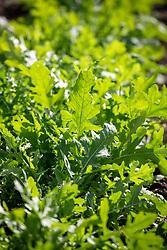 Eruca sativa 'Serrata' - Salad rocket