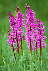 Dactylorhiza mascula syn. Orchis mascula - Early purple orchid - growing in the meadow at Great Dixter