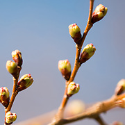 Buds of the famous cherry blossoms around the Tidal Basin in Washington DC.