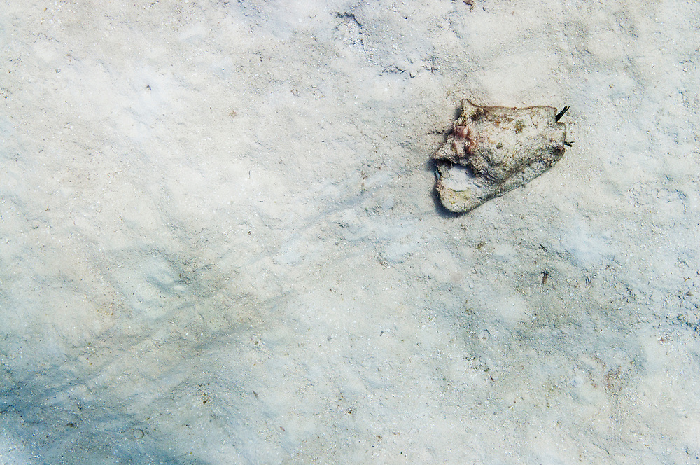 A queen conch (Lobatus gigas) hops along the bottom in search of a mate. Scientists calculate the minimum density for conch to reproduce is 56/hectare. This density is virtually non-existent in The Bahamas.