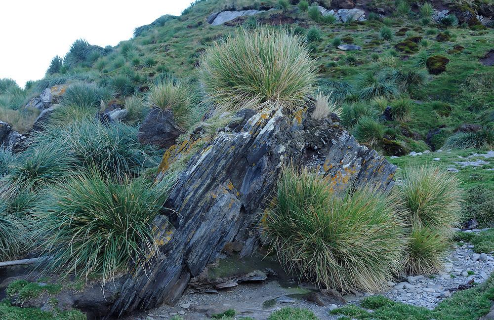 Tussac grass (Poa flabellata) growing on a rocky hillside. Ocean Harbour,  South Georgia. 21Feb16
