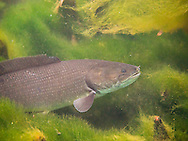 Bowfin<br /> <br /> Bryce Gibson/Engbretson Underwater Photography