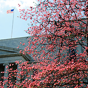 A tree with bright pink blooms  in spring against the Rayburn House Building next to the US Capitol in Washington DC. An American flag flies in the breeze above the building. Horizontal image.
