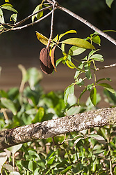Cocoa fruits hanging in the tree, Orinoco Delta, Venezuela