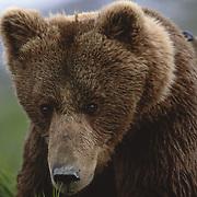 Alaskan brown bear (Ursus middendorffi) portrait. Alaska Peninsula, Alaska