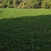 A pond covered in brazilian water hyacinths plants, Rio Pixaim River, Pantanal, Brazil
