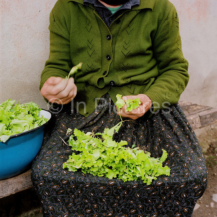 A Romanian peasant farmer prepares lettuce grown in her garden, Maramures, Romania. 90% of vegetable production is grown in small household plots and mainly used for self-consumption and for sale on local markets.