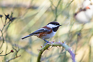 Chestnut-backed Chickadee (Poecile rufescens) sitting on a Rose branch. Photographed in the Fraser Valley of British Columbia