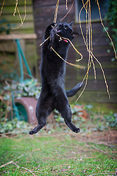 Black female cat leaping and playing with willow tree branches in a suburban garden, England, UK.