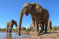 Ein Elefantenbulle (Loxodonta africana) und eine Mutterherde beim Trinken an einem Wasserloch, Tuli Block, Botswana<br /> <br /> A bull elephant (Loxodonta africana) and a breeding herd while drinking at a waterhole, Tuli Block, Botswana