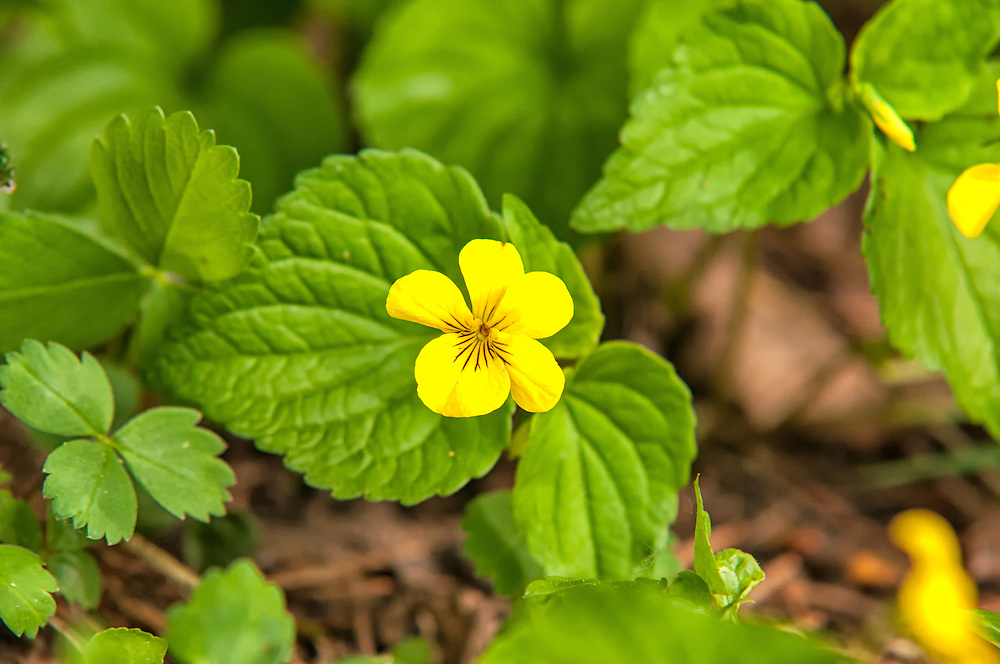 Of all of the wild violets growing in the Cascade Mountains, the stream violet is by far the most common. This huge group of violets growing on the edge of Gold Creek Pond were competing for space with another huge patch of wild mountain strawberries.