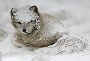 An Arctic Fox is awakened from it's nap just outside the opening to its den in a snowstorm on St. Paul Island in the Bering Sea. (Steve Ringman / The Seattle Times, 2006)