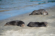 California sea otters or southern sea otters, Enhydra lutris nereis ( threatened species ), basking on the beach at Elkhorn Slough, Moss Landing, California, United States ( Eastern Pacific ); this is the only location where Pacific sea otters are known to come ashore regularly