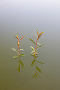 Two Pacific willows (Salix lucida ssp. lasiandra) sprout from the water of Levee Pond in Fife, Washington. Pacific willows grow to be the area's largest native willows, with a height of as much as 60 feet (18 meters). They are most often found in wetlands.