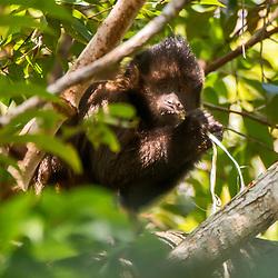 Macaco-prego-de-crista (Sapajus robustus)  fotografado na Reserva Biológica de Sooretama em Linhares, Espírito Santo, Brasil. Registro feito em 2013 <br /> <br /> ENGLISH: Crested capuchin photographed in Sooretama Biological Reserve in Linhares, Espírito Santo, Brazil. Picture made in 2013.