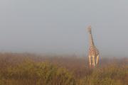 A southern giraffe (Giraffa giraffa) standing in the fog near the coast of the Skeleton Coast,Skeleton Coast, Namibia