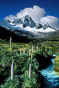 """Giant lupines (Lupinus weberbauerii) grow meter-tall flower stalks below snowy Mount Taulliraju (19,100 feet) in Tingopampa Valley, near Punta Union Pass, on the Santa Cruz Trek in Huascaran National Park, Peru, South America. June 6, 2000. Lupinus is a genus in the pea family (also called the legume, bean, or pulse family, scientific name Fabaceae or Leguminosae). UNESCO honored Huascaran National Park on the World Heritage List in 1985. Cordillera Blanca mountain range is in the Sierra Central of the Peruvian Andes. Published in Wilderness Travel 2002 and 2009 Catalog of Adventures. Published in """"Light Travel: Photography on the Go"""" book by Tom Dempsey 2009, 2010."""