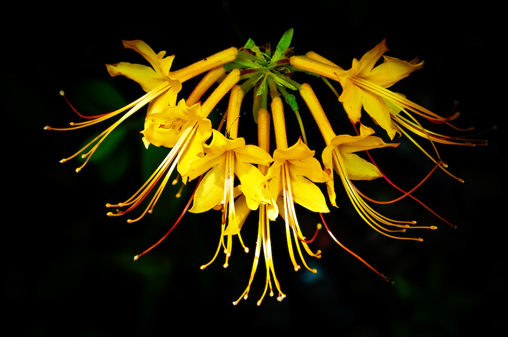 The native flame (or yellow) azalea photographed near the Apalachicola River in Gadsden County, Florida. These shockingly beautiful flowering trees grow in dense rich forests and are often found on steep slopes and ravines.