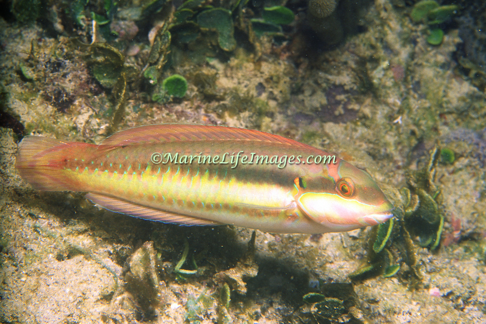 Slippery Dick constantly swim about reefs and adjacent sand areas and sea grass beds in Tropical West Atlantic; picture taken Anguilla.