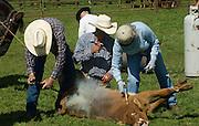 Snelling, California March 8, 2008.Erickson Cattle Company Prey Ranch: Branding spring calfs and getting Cattle ready for 2008 spring cattle drive.. Photo by AL GOLUB/Golub Photography