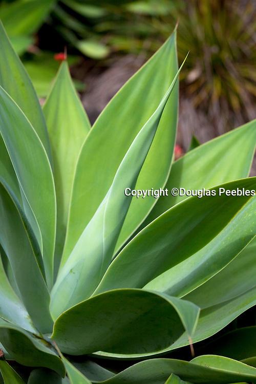 Agave plant, Tropical Gardens of Maui, Iao Valley, Maui, Hawaii