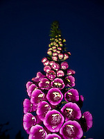 Looking up at a Foxglove flower as it seemingly climbs into the night sky.