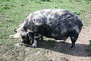 Kune kune pig breed originally from New Zealand, UK