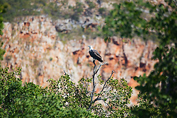 A White-bellied Sea Eagle (Haliaeetus leucogaster) sits on a mangrove branch in Dugong Bay on the Kimberley coast.