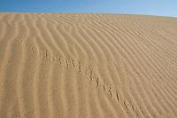 Tracks of Colorado Desert sidewinder, Crotalus cerastes laterorepens, Algodones Dunes, California