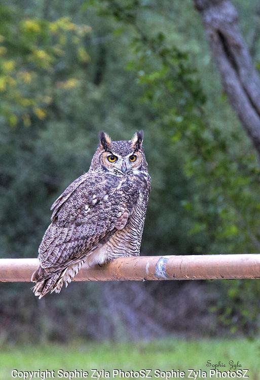 Great Horned Owl Gatekeeper