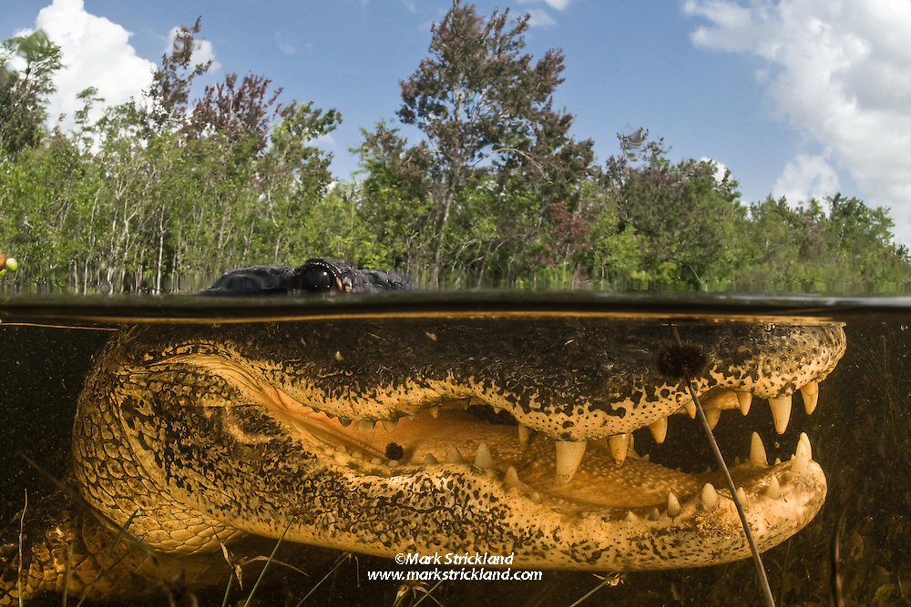 An American Alligator, Alligator mississippiensis, displays a toothy grin as it rests in shallow water. Everglades National Park, Florida, USA
