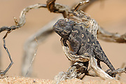 The young Namaqua Chamaeleon (Chamaeleo namaquensis) in the sand dunes of the Namib Desert preys upon the numerous beetles passing by.