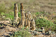 Meerkat family group standing up to expose their bodies to the early morning sun's warmth after a night's sleep in a foraging burrow, De Zeekoe Ranch, Oudtshoorn, Western Cape, South Africa