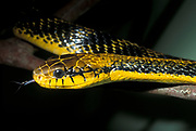 Yellow Bellied Puffing Snake, Pseustes sulphureus, juvenile, Guyana, found in northern South America and Trinidad and Tobago