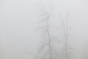 Trees shrouded in heavy fog, Lost Creek Wilderness, Colorado.