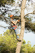 Foresters working in a pine forest, cutting down trees to to thin out the forest. Photographed in Israel, Galilee, Biria forest