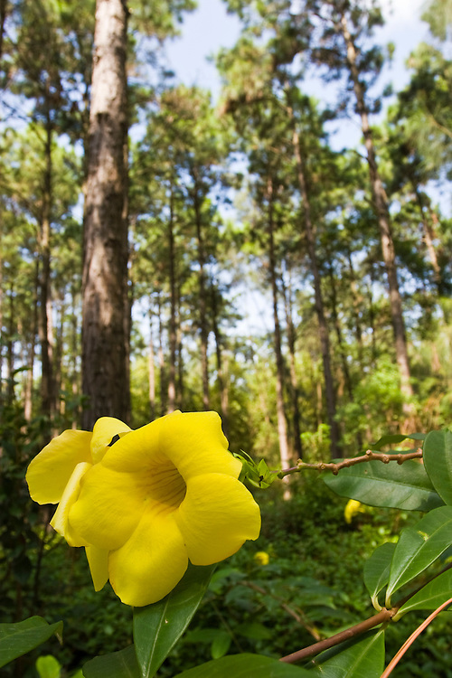 Yellow flower in a pine forest, Kinmen, Republic of China ROC (Taiwan)