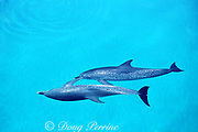 Atlantic spotted dolphins, Stenella frontalis, touching each other with pectoral fins, White Sand Ridge, Little Bahama Bank, Bahamas ( Western North Atlantic Ocean )